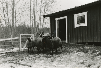 När Rönnåsen var uppbyggd och klar efter branden började Erling och Mary med fårskötsel och hade även ett tag nordsvensken Linus. De blev att driva ett litet mikro-jordbruk, såsom Rönnåsen varit i äldre tider.